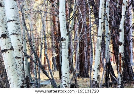A Forest of Aspen Trees - stock photo