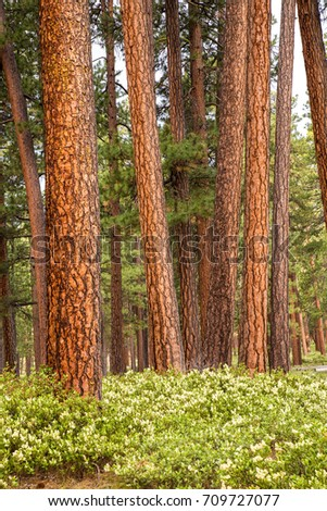 A forest of Ponderosa pine trees with manzanita bushes in bloom in the foreground, six miles west of Sisters Oregon.
