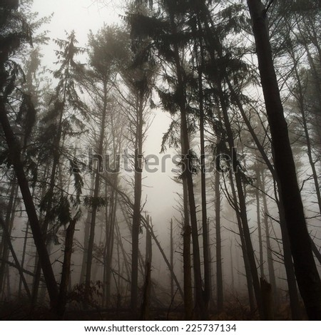 A forest of tall, thin trees on a foggy day. - stock photo
