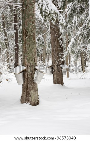 A forest scene of trees being tapped for sap with pails hanging off them. - stock photo
