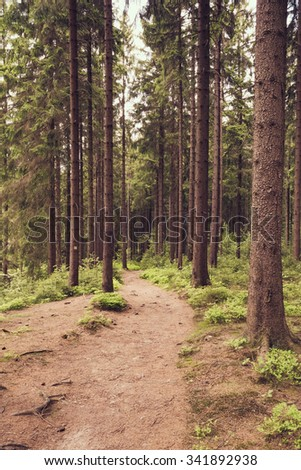A forest trail through a coniferous forest in summer