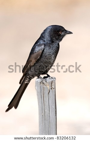 A fork tailed drongo - stock photo