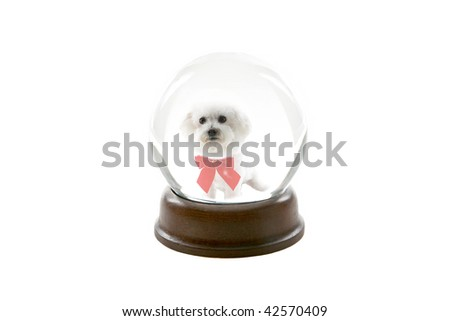 a fortune teller crystal ball, shows a ghostly image of a bichon frise dog as your future pet, isolated on white - stock photo
