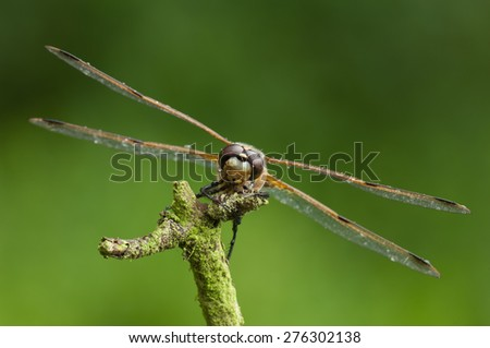 A Four-spotted chaser, or Four-spotted skimmer as it is known in America, perched facing the camera against a vivid green background. - stock photo