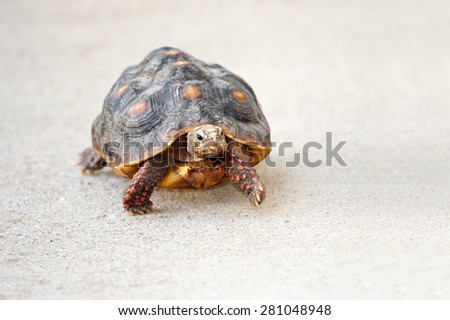 A four year old, female Red footed Tortoise walking outside. - stock photo