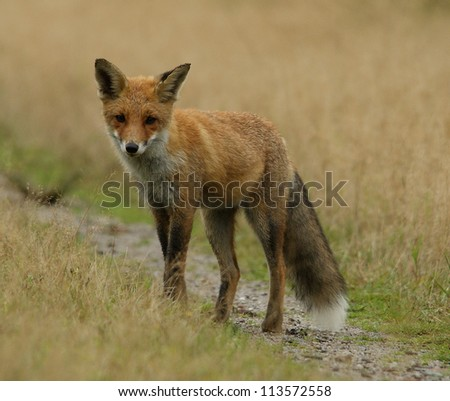 A fox in the forrest