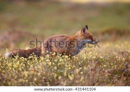 a fox looking for food on a meadow middle of a forest.