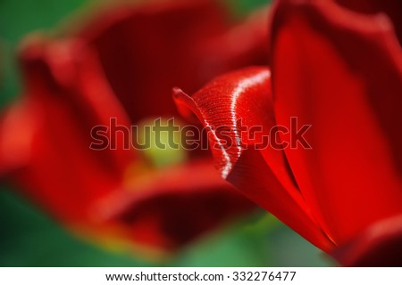 a fragment of a red tulip petal selective focus