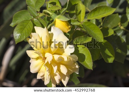 A fragrant romantic beautiful pale yellow  fully blown rose blooming in  winter  adds fragrance and beauty to the drab  garden landscape. - stock photo