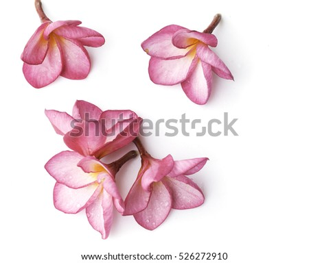 A frangipani flower on white background.