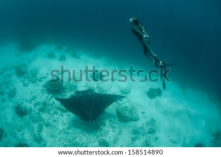 A free diver ascends to the surface after diving with a manta ray (Manta alfredi) in eastern Indonesia. Mantas are one of the worlds most majestic fish. - stock photo