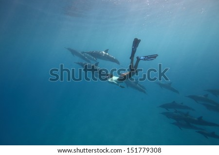 A free diver becomes one of the pod of dolphins - stock photo