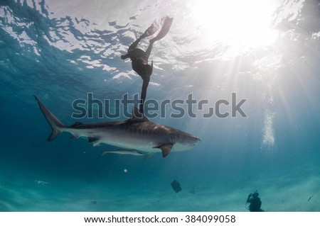 A free diver hitching a lift with a friendly tiger shark in clear, shallow water - stock photo