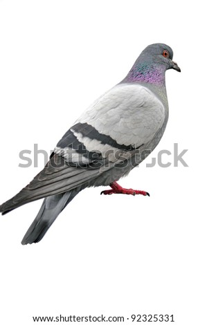 A free dove isolated on a white background - stock photo