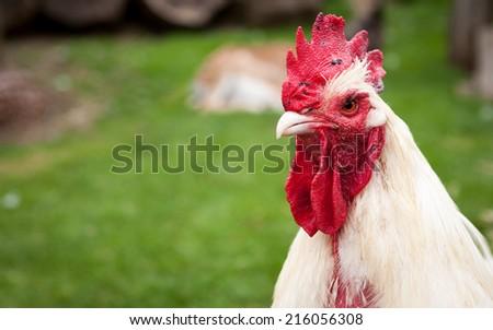 A free range farmyard chicken in its native environment on a rural English farm. - stock photo