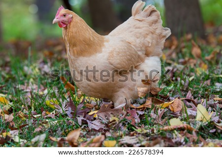 A free range hen walking among the autumn leaves - stock photo