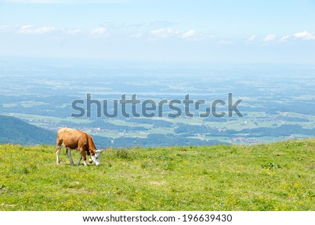 A free ranging dairy cow grazes in a high Alpine meadow. - stock photo