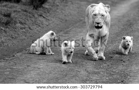 A free roaming wild white lion pride in south Africa. Female and her 3 new born white lion cubs. - stock photo