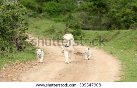 A free roaming wild white lion pride in south Africa. Female and her 3 new born white lion cubs.