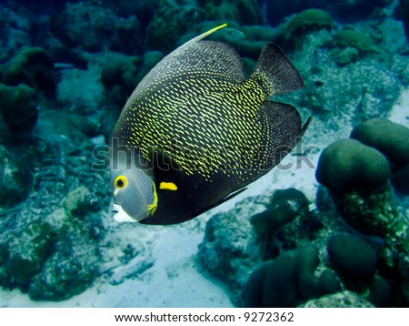A French Angelfish in the Caribbean Sea