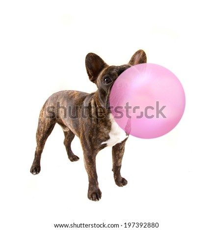 a french bulldog isolated on a white background - stock photo
