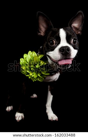 a french bulldog isolated on black with a green flower - stock photo