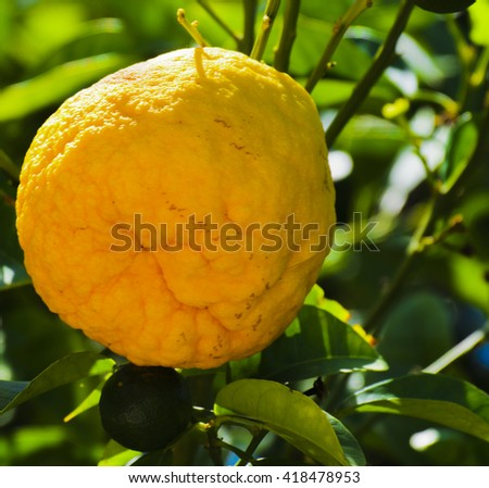 A fresh and natural orange grows on a tree against a background of green leaves on a beautiful sunny day.