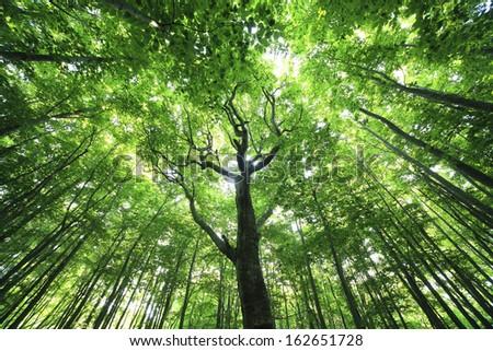 A fresh green beech forest - stock photo