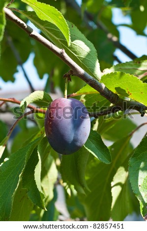 A fresh plum in a tree - stock photo