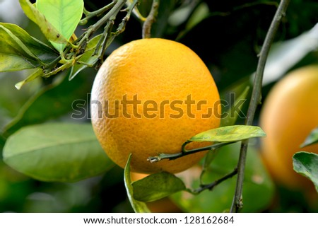 A fresh ripe Valencia orange hangs on the tree in Florida.