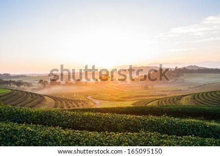 A fresh row tea plantation in sun rise - stock photo