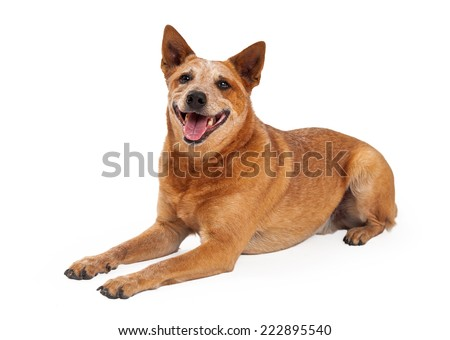 A friendly Australian Cattle Dog which is also known as a Red Heeler laying with a happy expression and open mouth - stock photo