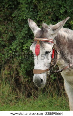 A Friendly Donkey Ready to Take a Rider for a Walk. - stock photo