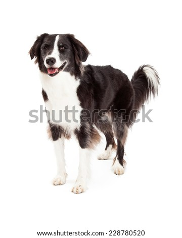 A friendly looking Border Collie Dog standing at an angle. - stock photo