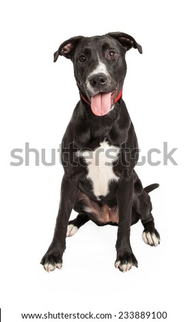 A friendly looking Labrador Retriever Mix Breed Dog sitting with mouth open.  - stock photo