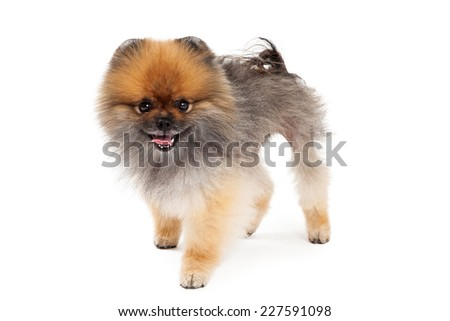 A friendly Pomeranian Dog standing at an angle looking directly into the camera.