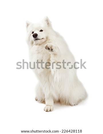 A friendly Samoyed Dog extending paw for a shake.