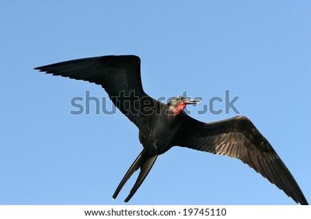 A frigate bird soaring high in the sky - stock photo