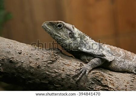 A Frilled Lizard (Chlamydosaurus kingii) sitting on a log.  - stock photo