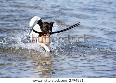 A frisky Jack Russell terrier retrieving a stick at the beach.