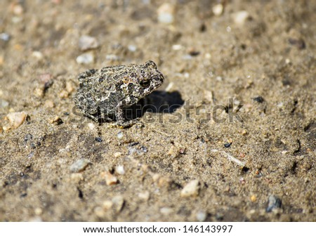 A frog camouflaged on gravel