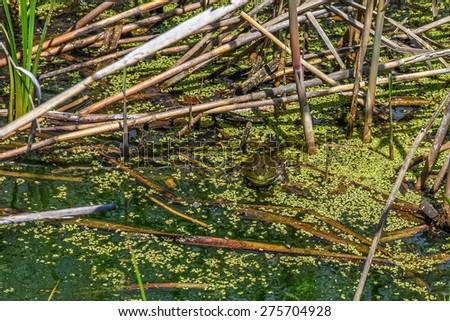 A frog hidden by algae in this marshland in Eastern Pennsylvania. - stock photo