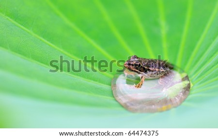A frog in a water drop on Lotus - stock photo