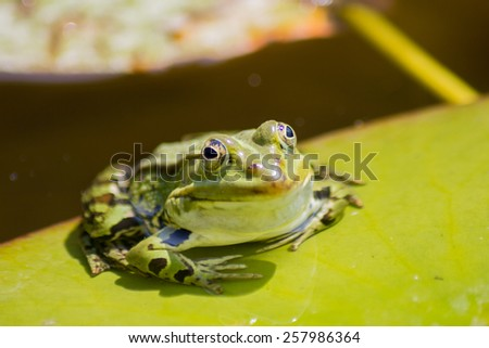 A frog on a water lily