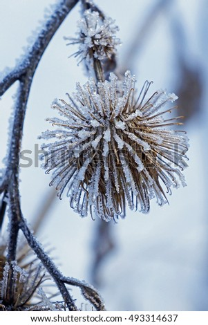 A frosty 'chandelier' Burdock at Swede Hallow Park in St. Paul, MN.