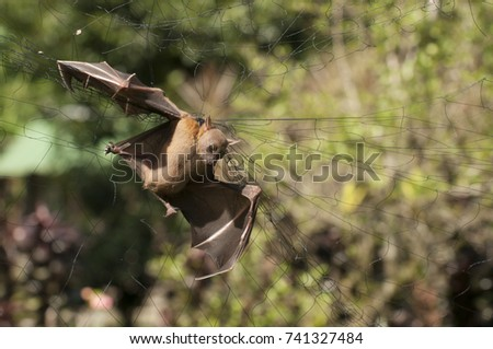 A fruit bat caught on the net in the fruit orchard
