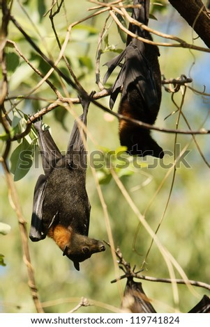 A fruit bat hanging from a branch - stock photo