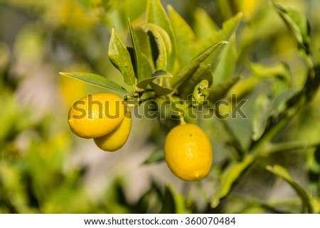 A fruiting lemon tree in the botanic garden of the Valencia University.  - stock photo