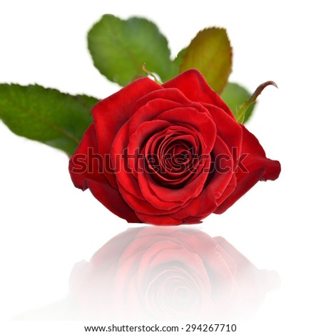 A full-blown red rose lies frontally, isolated on a white background - stock photo