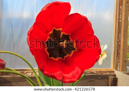 a full-blown tulip, close-up - stock photo